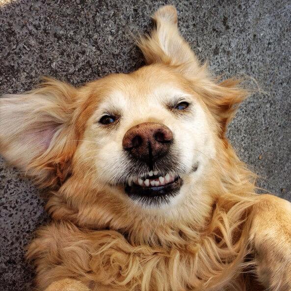 happy golden retriever dog pet friendly rehab