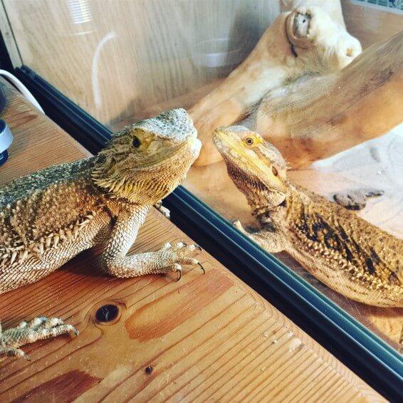 bearded dragons pets mental health rehabilitation