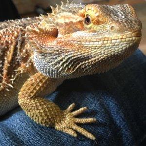 handsome bearded dragon lizard pet friendly rehab